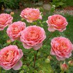 Розы «Дэвида Остина» в ландшафтном дизайне