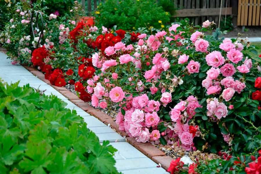 почвопокровные розы в ландшафтном дизайне фото рукав змея