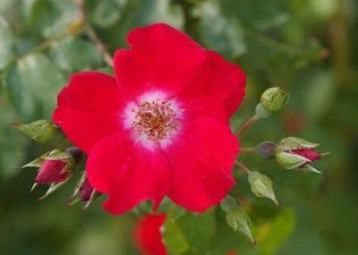 Розы Макс Граф