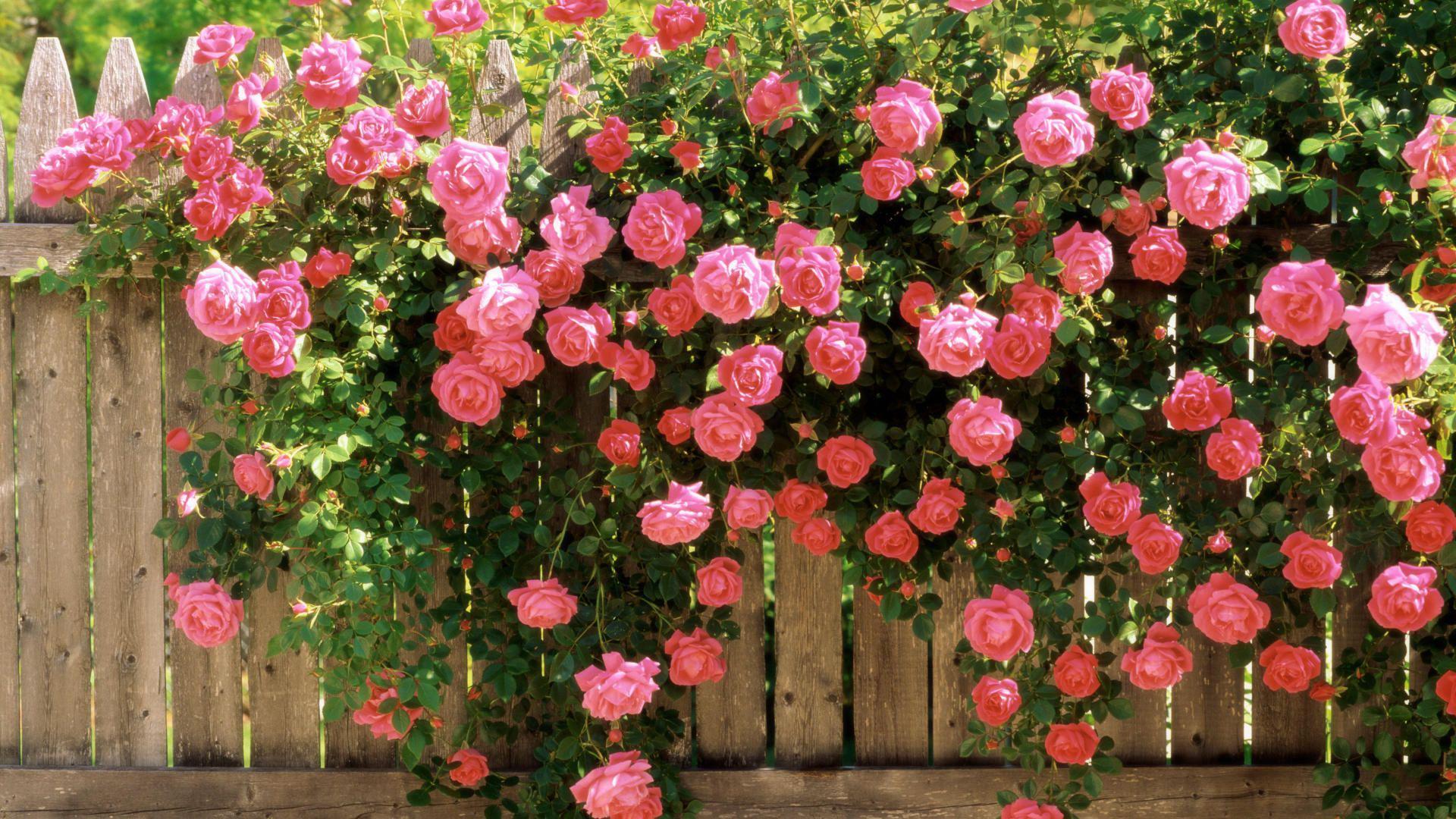 Роза садовая.
