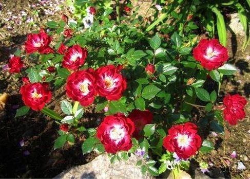 Розы Ред Бланкет