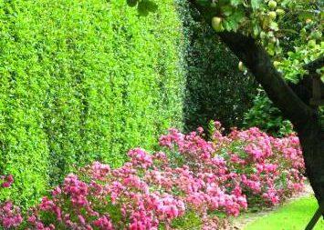 Сочетание роз и других растений