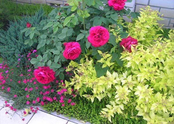 Розы и другие растения