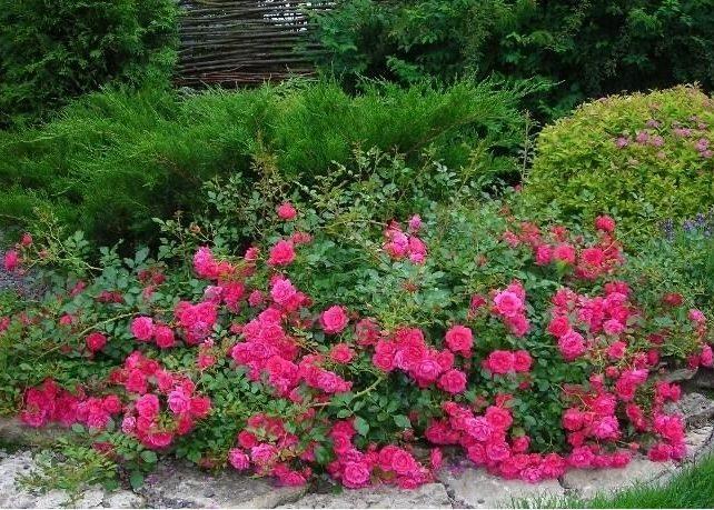 Розы и хвойные