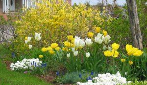 форзиция и тюльпаны