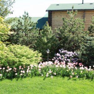 Ель в сочетании с тюльпанами
