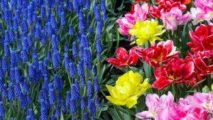мускари с тюльпанами