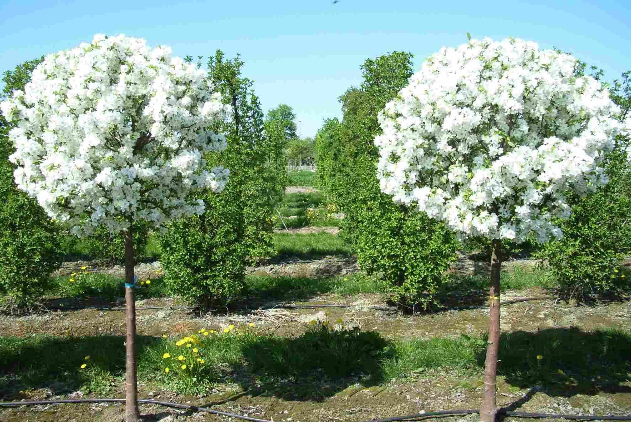 Декоративные яблони в ландшафтном дизайне: фото, посадка, уход