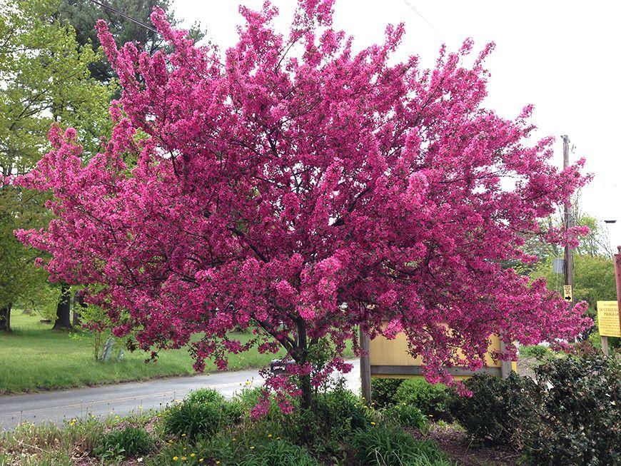 церемония декоративные розовые деревья названия и фото магазине действует доставка