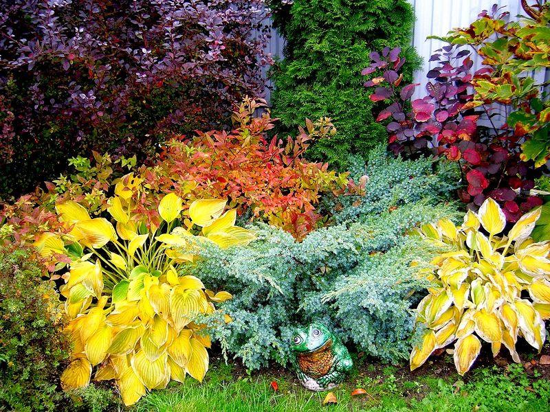 Барбарис в дизайне сада с какими цветами сочетается фото