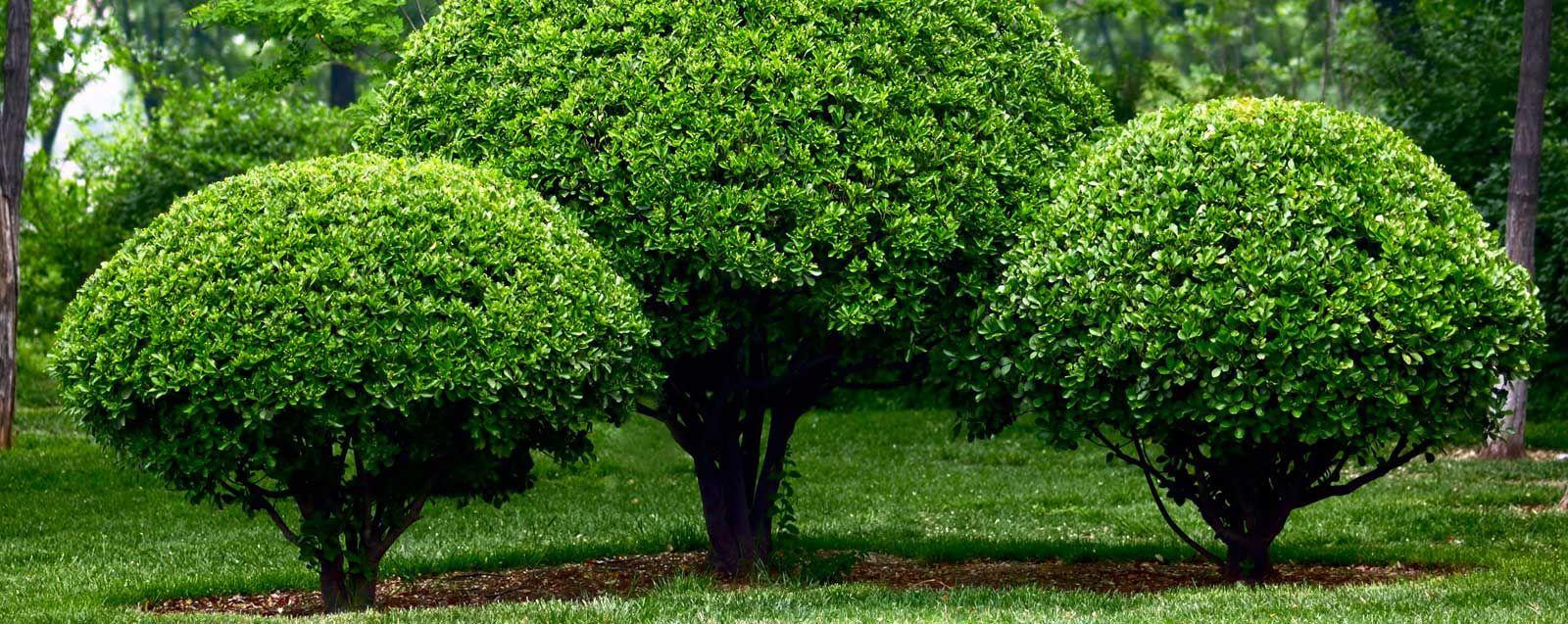 Штамбовые растения в ландшафтном дизайне