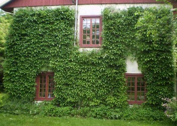 Стенной дикий виноград