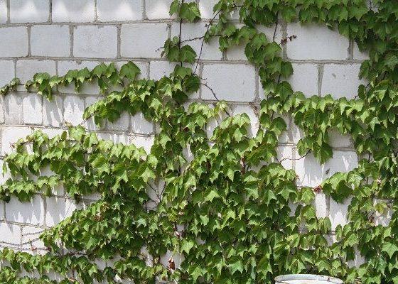 Триостенный дикий виноград
