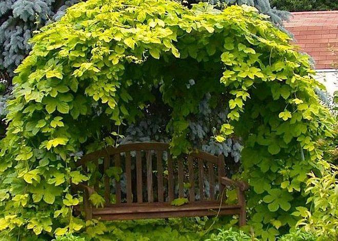 Золотистый дикий виноград