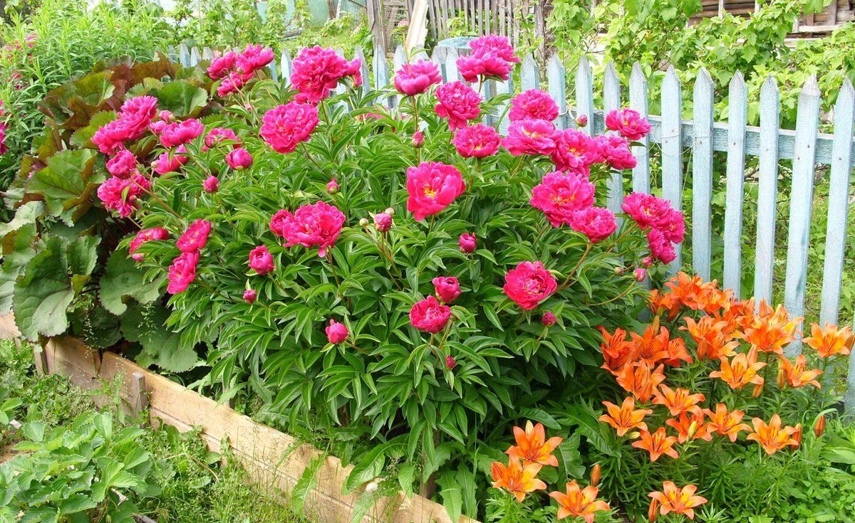 Пионы с другими цветами на клумбе фото
