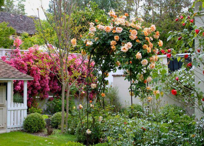 Плетистые розы на опоре