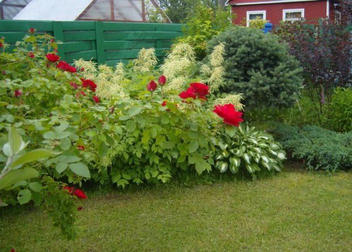Волжанка, розы и хвойники