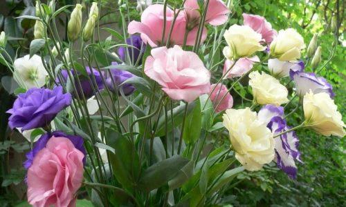 Цветы эустома фото