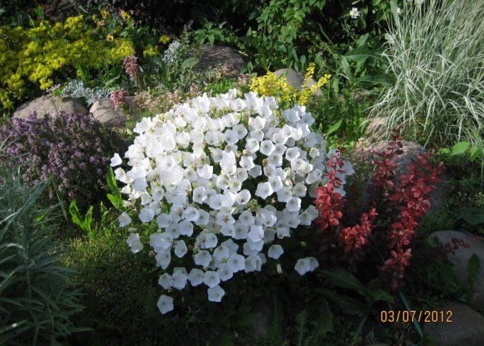 Колокольчик и другие растения