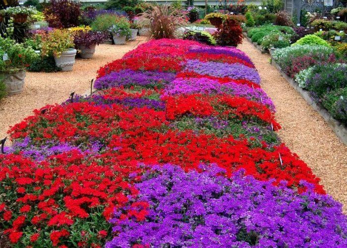 Цветы вербена посадка и уход фото
