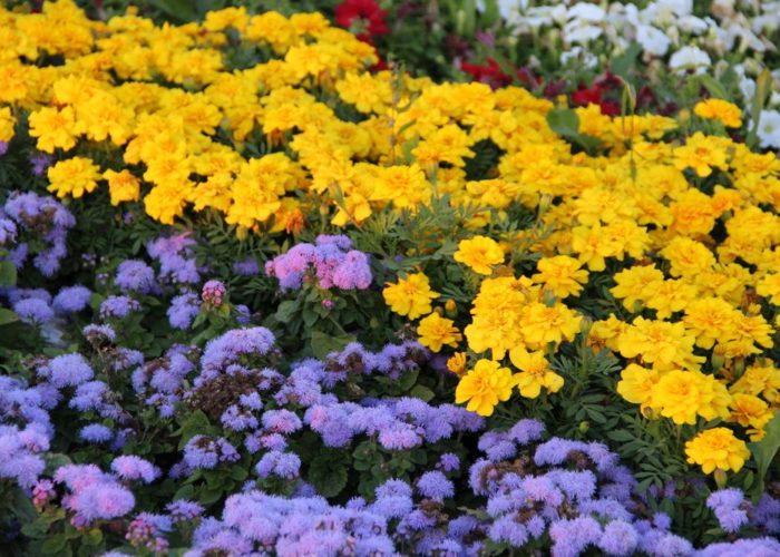 Агератум и другие растения