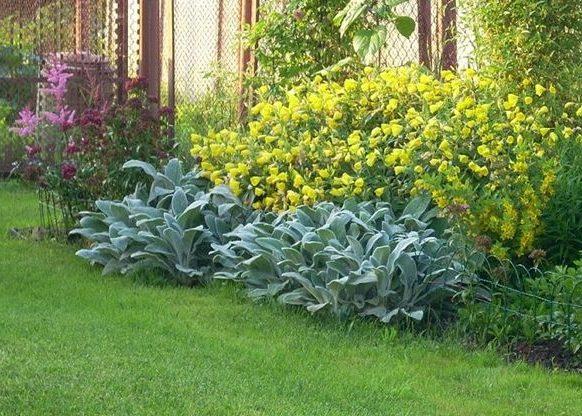 Чистец и другие растения