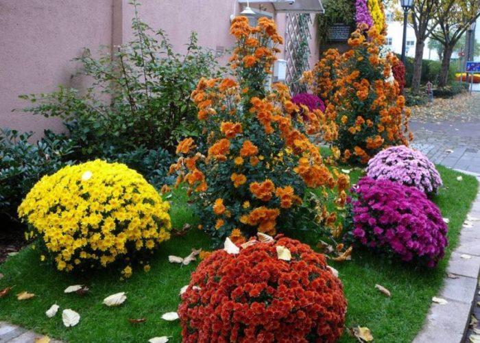 Хризантема садовая в ландшафтном дизайне