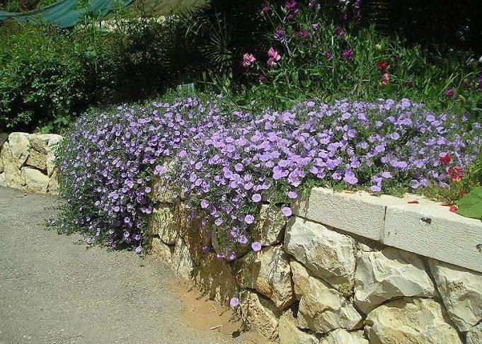 Ипомея пурпурная в ландшафтном дизайне