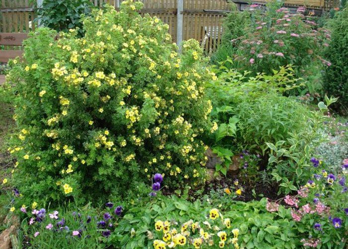 Курильский кустарниковый чай и другие растения