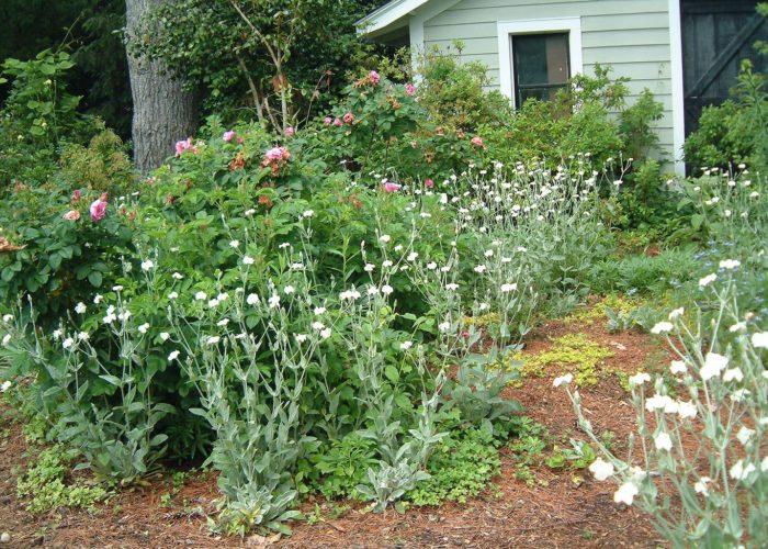 Лихнис и другие растения