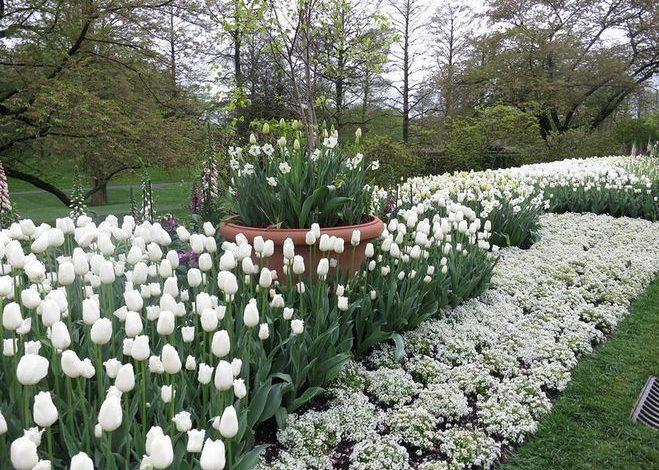 Алиссум и тюльпаны