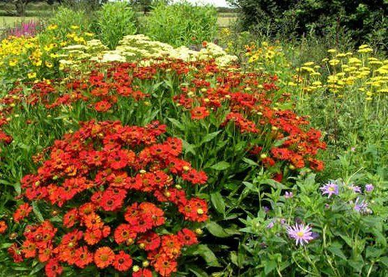 Гелениум и другие растения