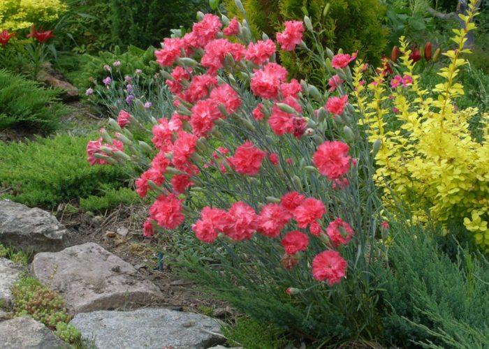 Гвоздика садовая и другие растения