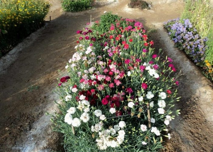Гвоздика садовая в ландшафтном дизайне
