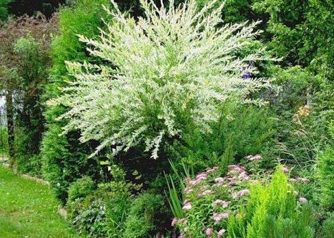 Ива цельнолистная хакуро нишики и другие растения