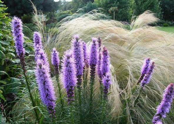 Лиатрис и декоративные травы и злаки