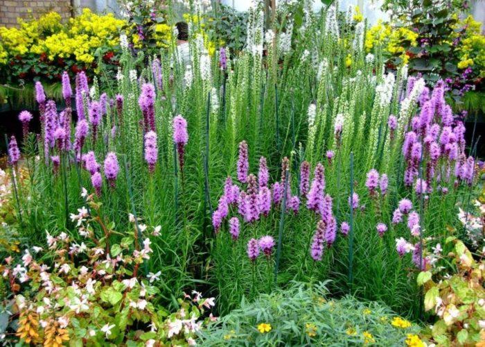 Лиатрис и другие растения