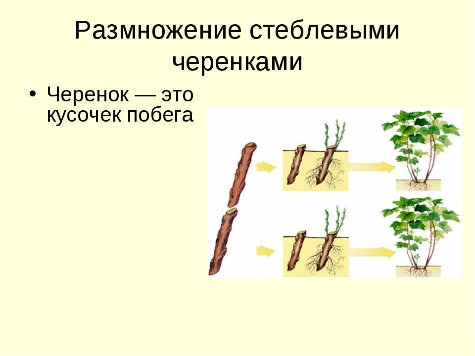 Размножение люпинов многолетних черенкованием
