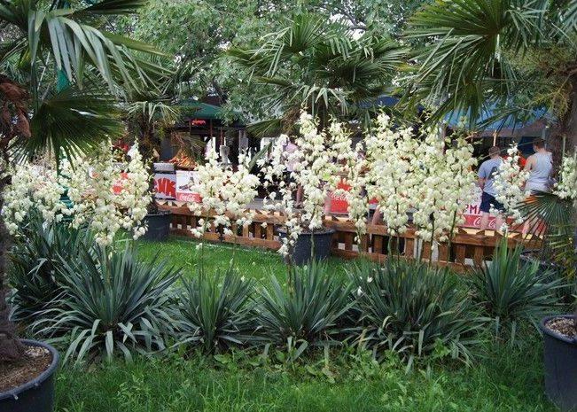 Юкка садовая, фото в ландшафтном дизайне
