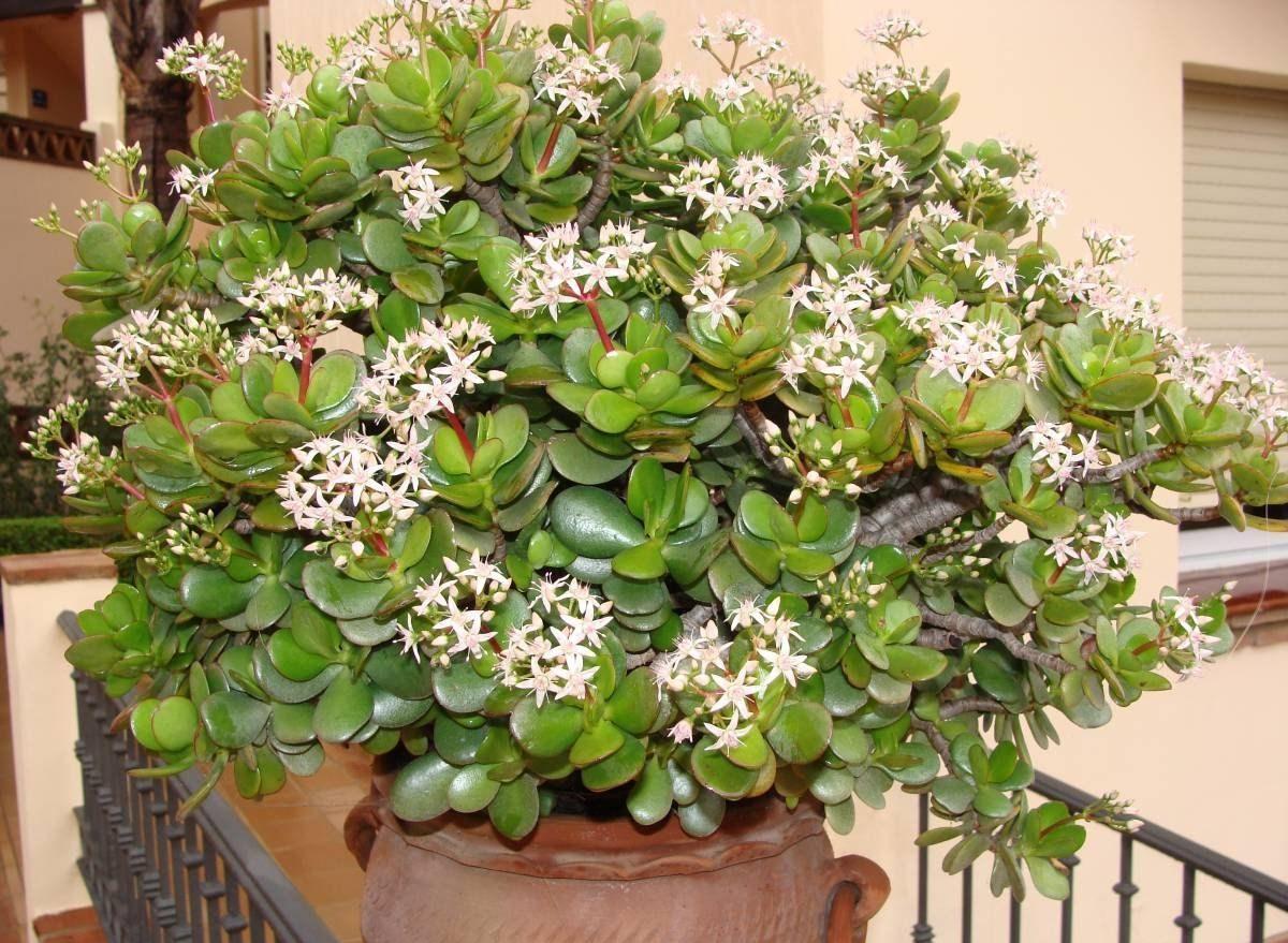 Уход за денежным деревом в домашних условиях при цветении