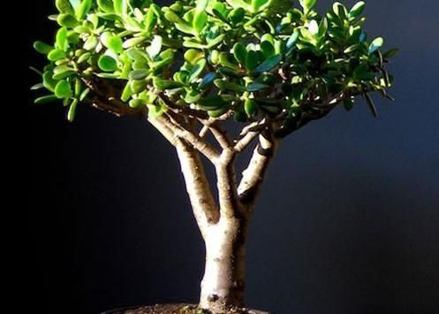 Денежное дерево колоновидное