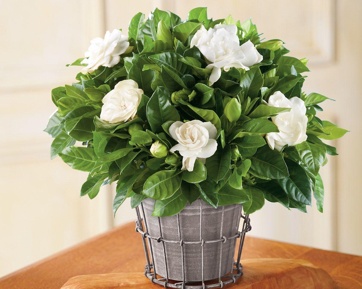 Цветок гардения: как ухаживать за комнатным цветком в домашних условиях