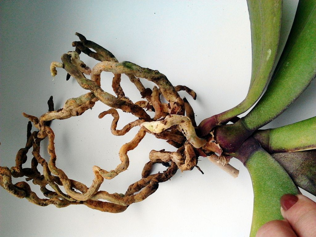 Субтрате орхидеи в если запутанны корни