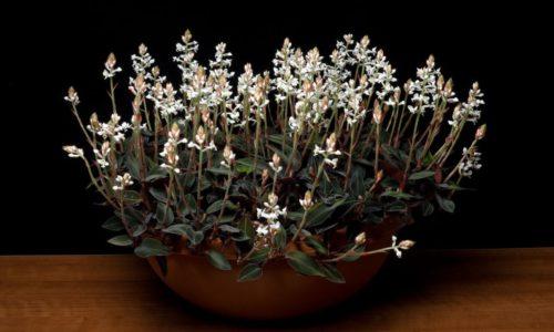 Лудизия драгоценная орхидея