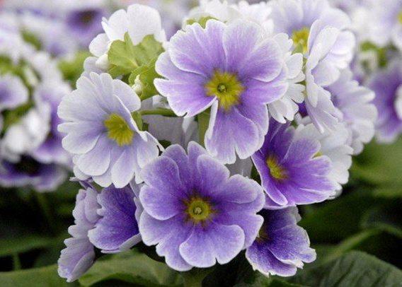 Примула фиолетовые нимфетки