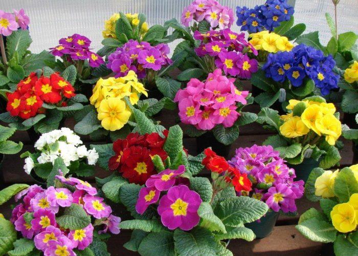Примула цветочное многообразие