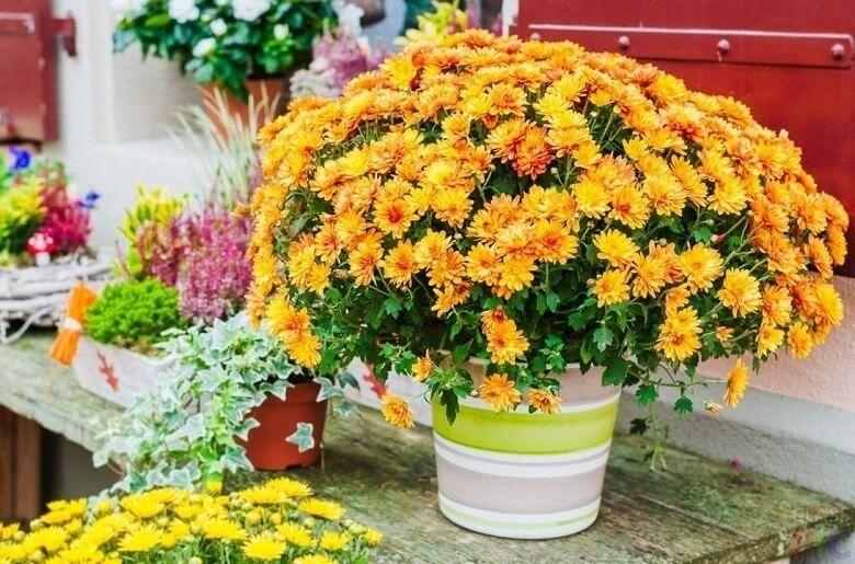 Хризантема - уход за цветком в горшке