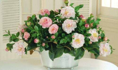 Цветок Камелия - уход в домашних условиях