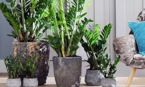Долларовое дерево - уход за цветком в домашних условиях