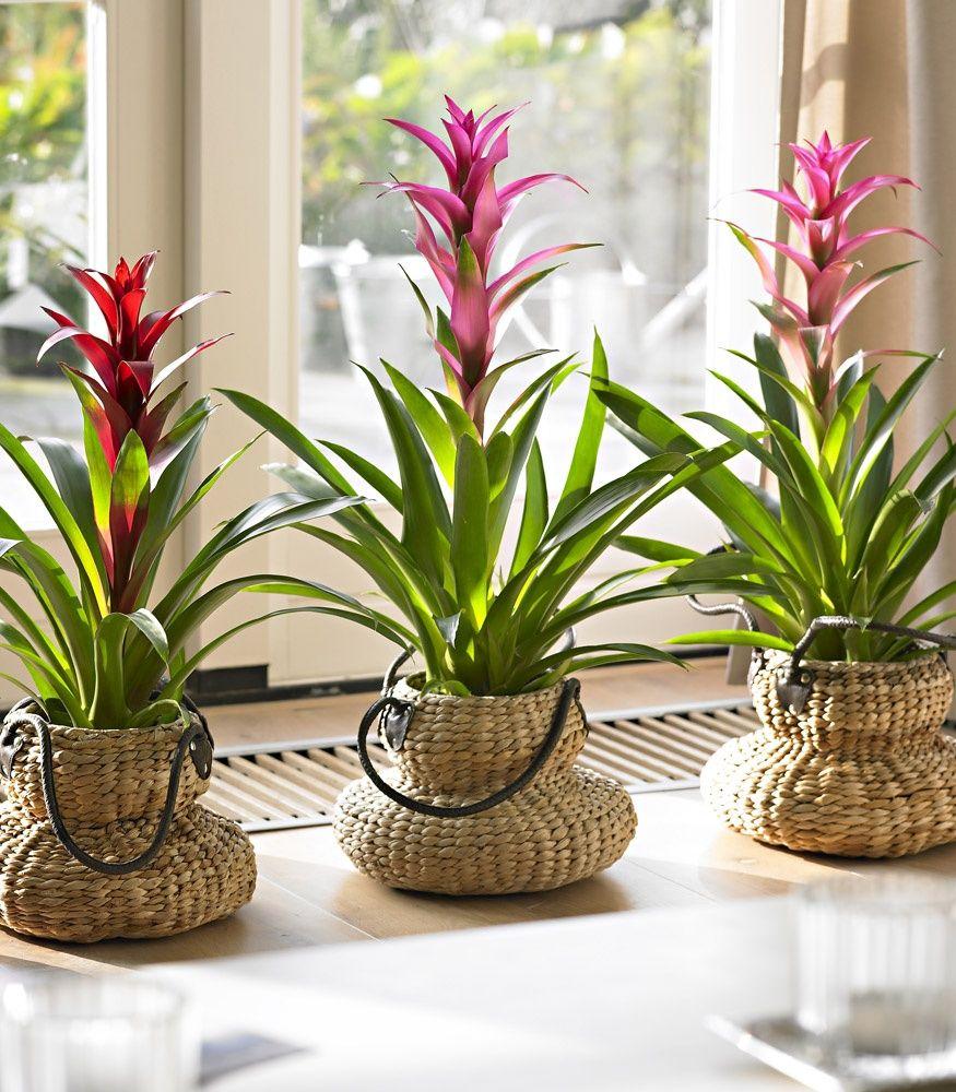 такой комнатные цветы уход в домашних условиях фото мягкого нежного